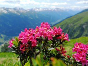 Wanderungen Ausblicke Alpenpflanzen Alpengarten
